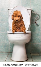 Smart poodle dog pooping into toilet bowl