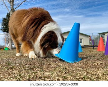 Smart purebred Australian shepherd dog lifts colorful blue cone searching for treat playing scent work brain game in the grass at fear free canine enrichment boarding and training center