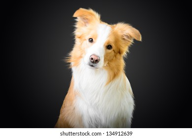 Smart red border collie looking at you