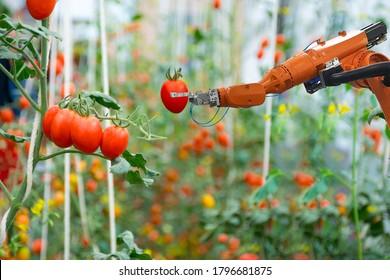 Intelligente Roboterbauern in der Landwirtschaft futuristische Roboterautomatisierung Ernte Tomate