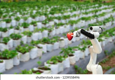 Smart robotic farmers strawberry in agriculture futuristic robot automation to work or increase efficiency