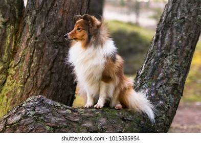 Smart sable shetland sheepdog, sheltie looking for her owner in the forest. Full attention working dog. Fluffy and sweet