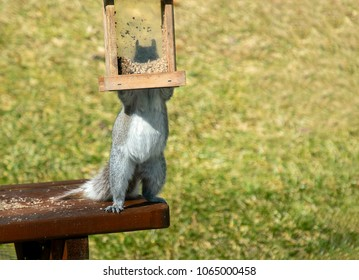 Smart silly grey squirrel stands on a table to steal birdseed from a bird feeder on  green background