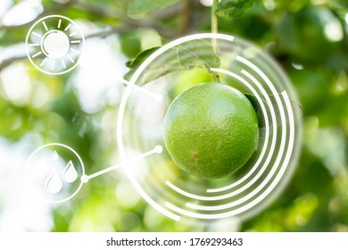 Smart technology of things futuristic agriculture concept. Green lemon And morning light, Gardening inspection.