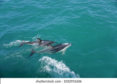 Smart and Wild Hector's Dolphins