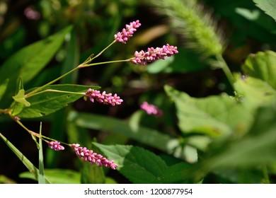 Smartweed (Persicaria) flowers