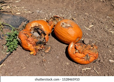 Smashed pumpkins rotting in the sun on an autumn day at Tanaka Farms in California
