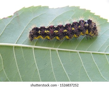 A Smeared Dagger Moth Caterpillar, also known as a Smartweed Caterpillar, crawls along a leaf.