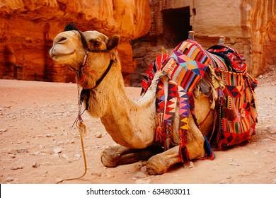 Smile Camel