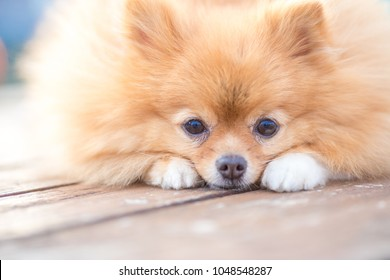Smile of dog pomeranian spitz. Portrait pomeranian smiling dog. Cute fluffy pomeranian dog with smile on face on ship deck. Pomeranian smiling dog looking on you with love during his trip.