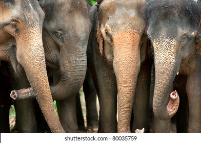 Smile of elephant in Thailand