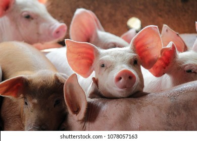 Smile and eyes of pigs are going to eat. Small piglet waiting feed in the farm or pigs in the stable are eating and growing. To send to the slaughterhouse. Is a pork industry To be human.