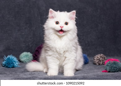 smile face. Cat.  portrait of a cat close-up. white beautiful British long-haired cat smiling. The cat shows teeth.