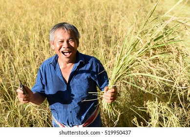 Smile Farmers harvest rice.it's harvest time