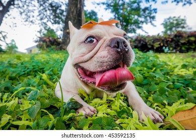 Smile French Bulldog in leaf Field, Green park