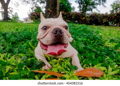 Smile French Bulldog in leaf Field under the tree, Green park