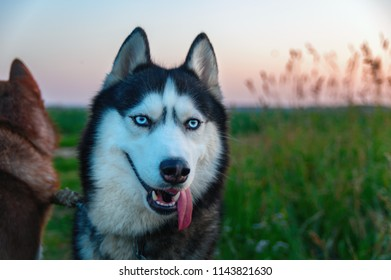 Smile Happy husky dog with long tongue sticking out of its mouth. Beauty portrait Siberian husky with bright blue eyes. Evening summer green field. Copt space. For lifestyle design.