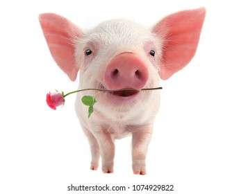 smile a pig with a rose flower  distorted by a wide-angle close-up, on a white background
