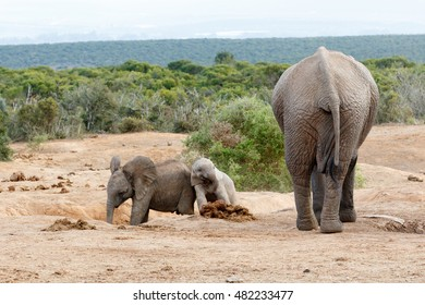 Smile were on camara - African Bush Elephant Family - The African bush elephant is the larger of the two species of African elephant.