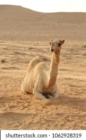 A smiley camel is sitting in desert.