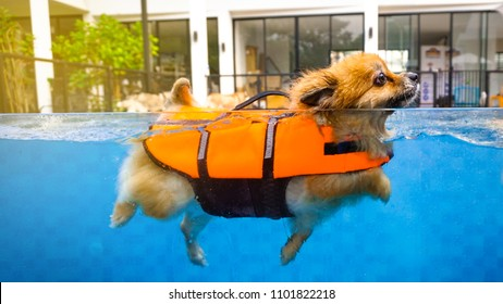 A smiley cute dog, brown petite one, is swimming with the orange lifeguard jacket in the pool to get a soft exercise. Water therapy is a good healing and comfortable relaxing activity. background pets