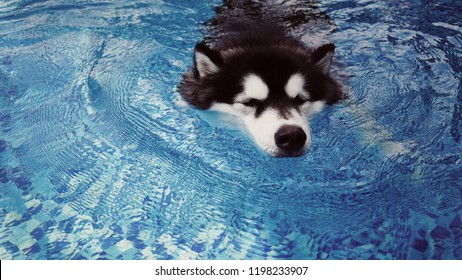 A smiley dog, handsome Alaskan, white and black colored is swimming in the blue pool, getting a soft exercise. Water therapy is a good healing and comfortable relaxing activity. Summer activity.