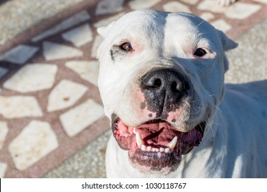 smiley face of dog breed Dogo Argentino on a sunny day
