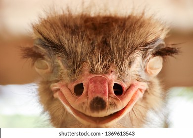 Smiley ostritch, front view of an ostrich bird that looks like it is smiling