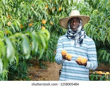 Smiling African-American farmer harvesting ripe peaches in fruit garden