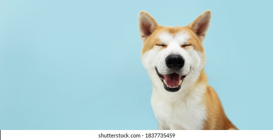 Smiling akita dog with happy expression. and closed eyes. Isolated on blue colored background. - Shutterstock ID 1837735459
