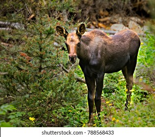 Smiling baby Moose, in Rocky Mountain National Park.