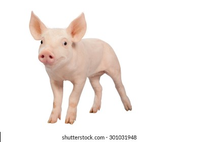 smiling baby pig clipping path Isolated on white background.