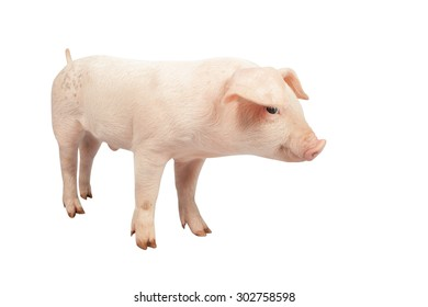 smiling baby pig ears pointing down clipping path on Isolated white background.