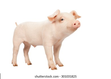 smiling baby piglet clipping path on white Isolated  background.