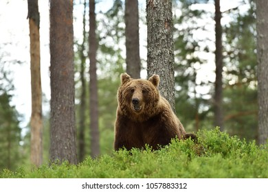 Smiling bear in forest