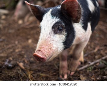 Smiling Berkshire pig.