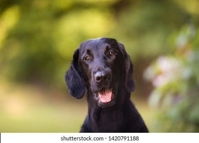 Smiling black flat coated retriever close up portrait horizontal looking into the camera with green background, in the park