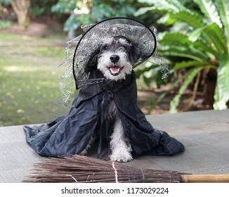 A smiling black miniature schnauzer wearing witch hat and black robe sitting next to broomstick in beautiful garden for Halloween party
