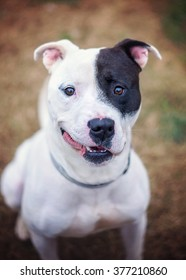 Smiling Black and White Pit Bull Mix