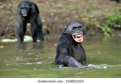 Smiling Bonobo in the water. Bonobo in the water with pleasure and smiles.  Bonobo (Pan paniscus). Democratic Republic of Congo. Africa