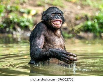 Smiling Bonobo in the water.  Bonobo in the water with pleasure and smiles. Bonobo standing in pond looks for the fruit which fell in water. Bonobo (Pan paniscus). Democratic Republic of Congo. Africa
