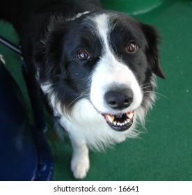 Smiling Border Collie