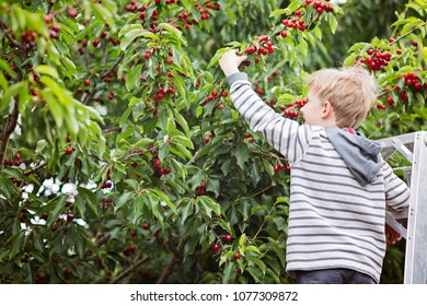 smiling boy standing at the ladder and picking berries in the orchard, copy space on left