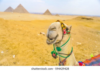 Smiling Camel in Egypt in front of the Great Pyramids