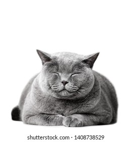 Smiling cat laying, isolated on white. British shorthair