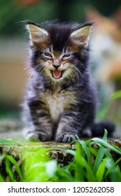 Smiling cat. Smiling Maincoon kitten in green garden. Brown ticked color cat yelling outdoor. Cute cat sitting on a wooden log.