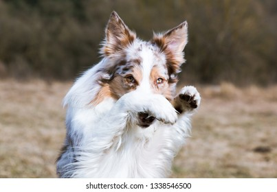 Smiling charming adorable sable red merle and white border collie male outdoors doing shame tricks with background spring yellow grass. Funny most clever dogs breed in the world herding border collie