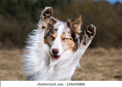 Smiling charming adorable sable red merle and white border collie male outdoors doing tricks with background green grass and blue sky. Funny most clever dogs breed in the world herding border collie
