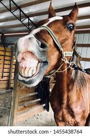 smiling chestnut American Saddlebred horse