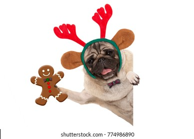 smiling Christmas pug dog holding up gingerbread man and wearing reindeer antlers headband, with paw on white banner, isolated